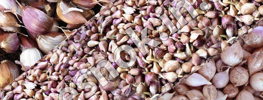 Фото посадочный материал чеснока