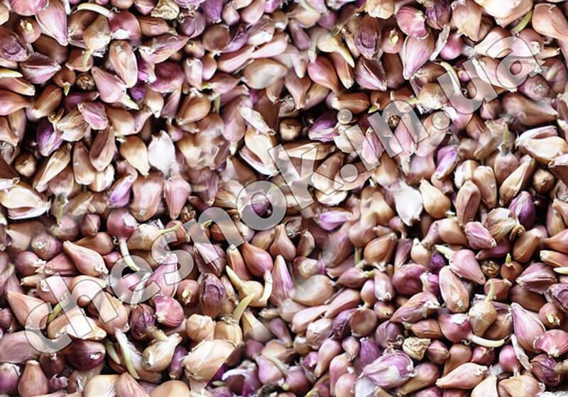 Семена чеснока воздушка воздушные луковици