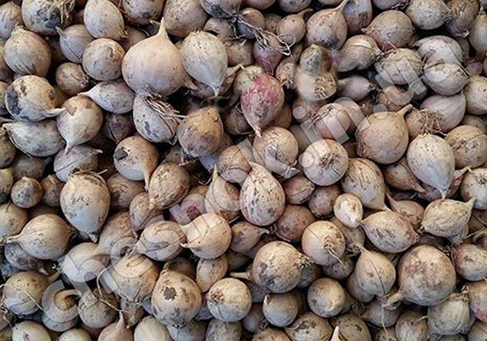 фото однозубка чеснока севок
